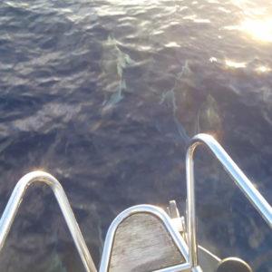 dauphin-voilier